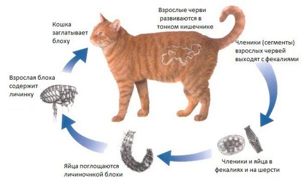 Заражение кошки ленточными червями (цестодоз)