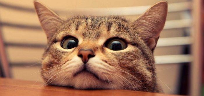 Кот положил голову на стол
