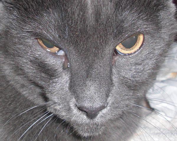 Кошка с усиленным слезотечением