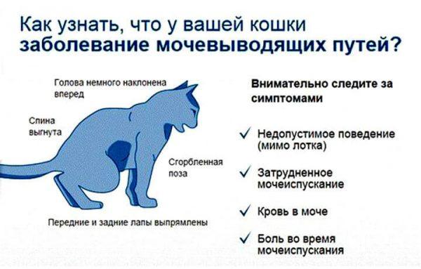 Симптомы заболеваний почек у кошки