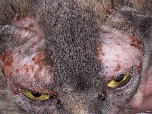 Проявление дерматита у кошек