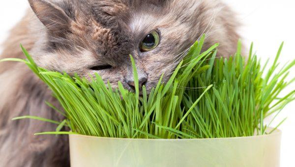 Кот лакомится пророщенной травкой