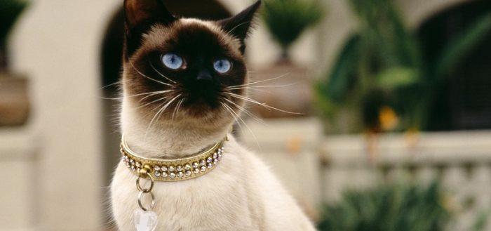 Сиамская кошка в ошейнике