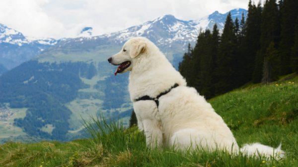 Кувас в горах