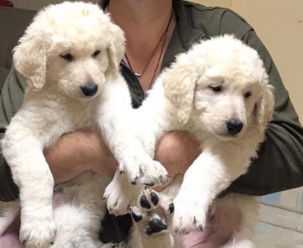Два щенка куваса