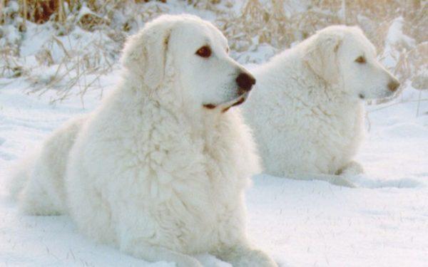 Кувасы в снегу