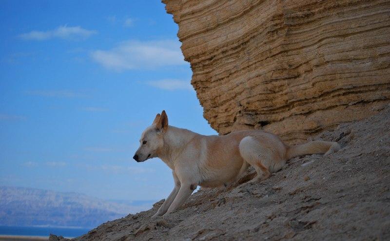 Ханаанская собака —внимательный охранник и преданный друг