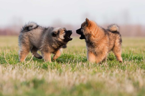 Играющие щенки евразиера
