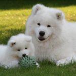 Самоедская лайка с щенком