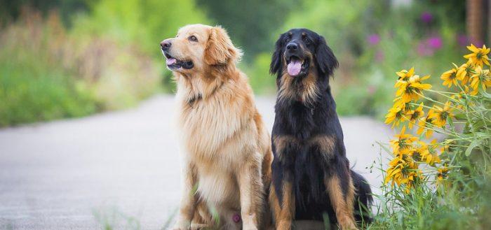 Ховаварт две собаки