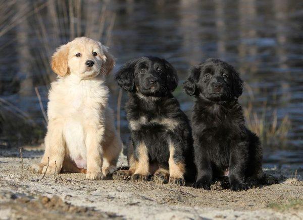Ховаварт щенки