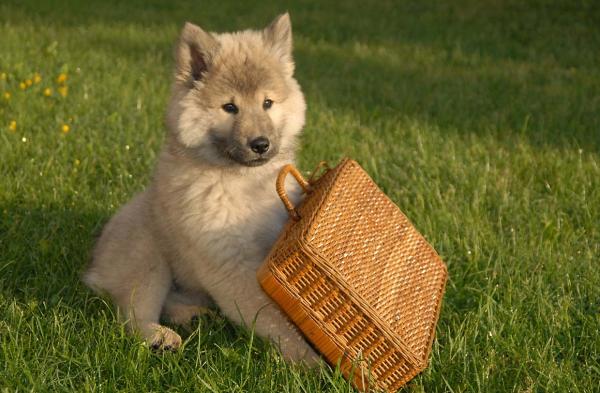 Милый щенок евразиера