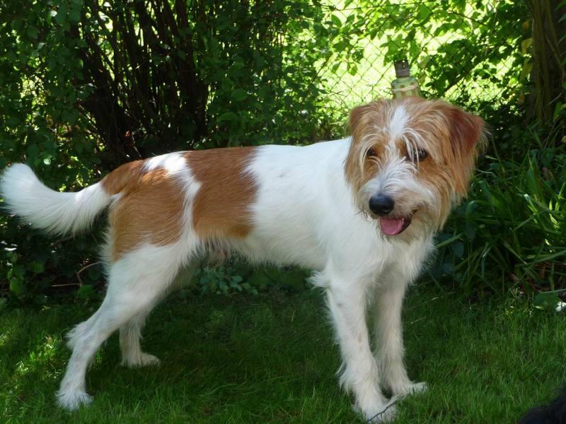 Кромфорлендер – семейная собака, которую непросто раздобыть