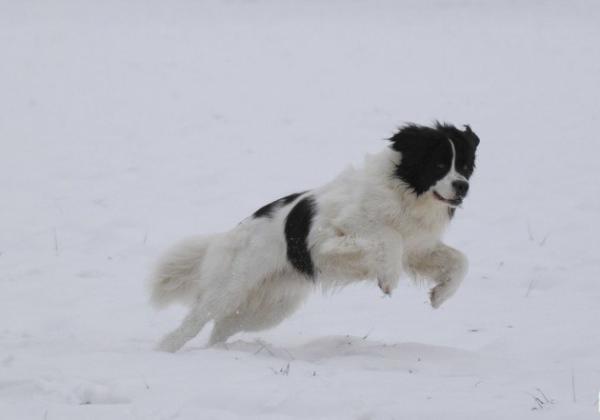 Ландсир бежит