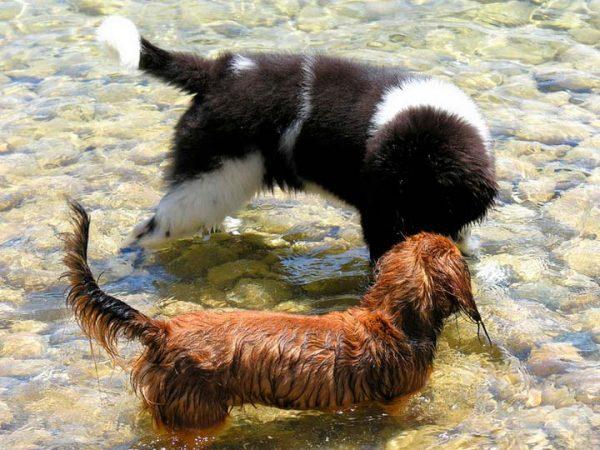 Ландсир играет с собакой