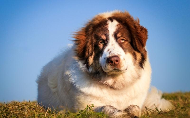 Торньяк: самая добрая сторожевая собака