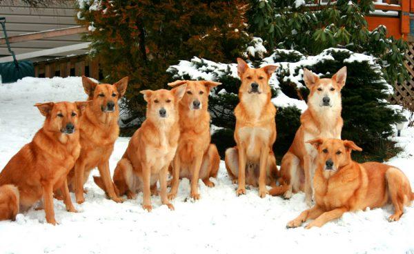 Чинуки много собак