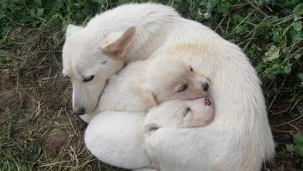 Сука породы алопекис со щенками
