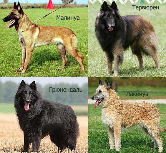 Разновидности бельгийской овчарки