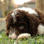 Щенок испанской водяной собаки