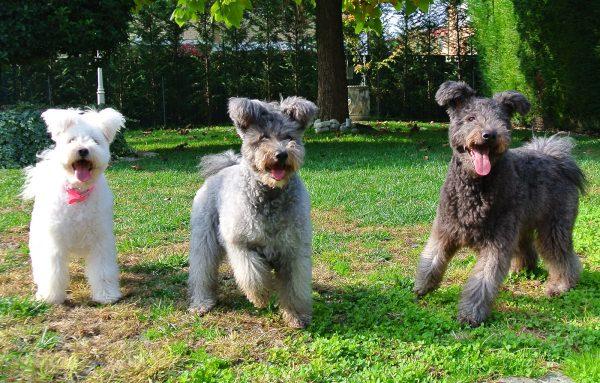 Три собаки пуми