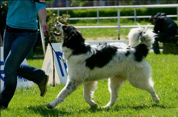 Торньяк на выставке собак