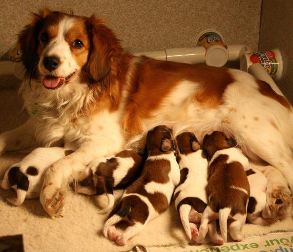 Сука коикерхондье со щенками