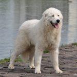 Мареммо-абруцкая овчарка