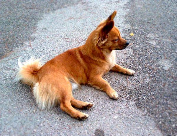Маленькая греческая собака лежит на асфальте