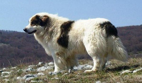 Собака торньяк на фоне гор