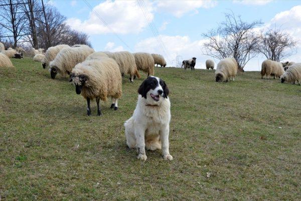 Тарньяк охраняет отару овец