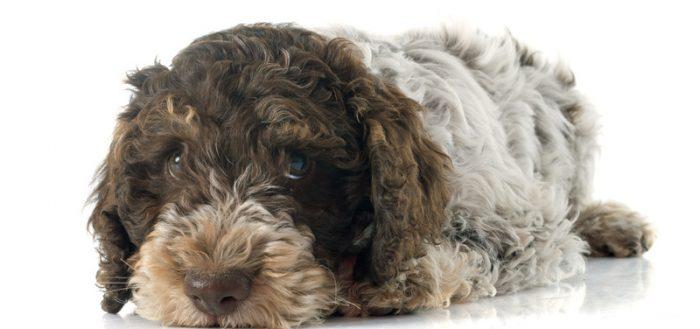 romagna water dog