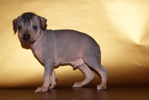 Щенок голой перуанской собаки