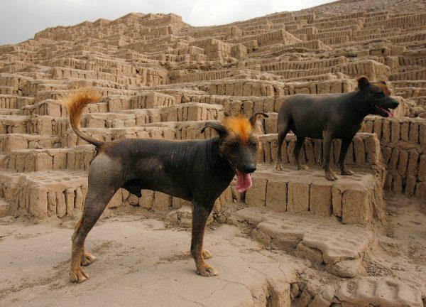 Голые собаки из Перу