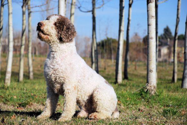 Сидящая итальянская водяная собака