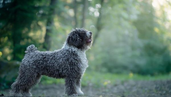 Испанская водяная собака на природе