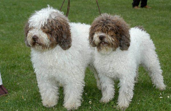 Испанская водяная собака шоколадно-белого окраса