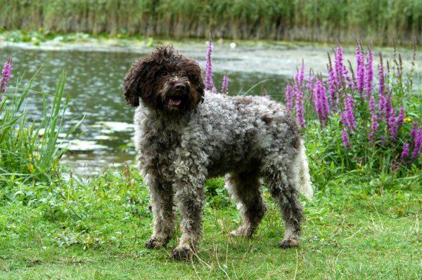 Итальянская водяная собака у озера