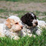 Пятнистые щенки лаготто романьоло