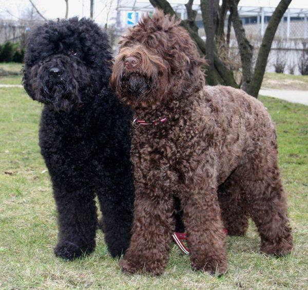 Шоколадный и чёрный окрас испанских водяных собак