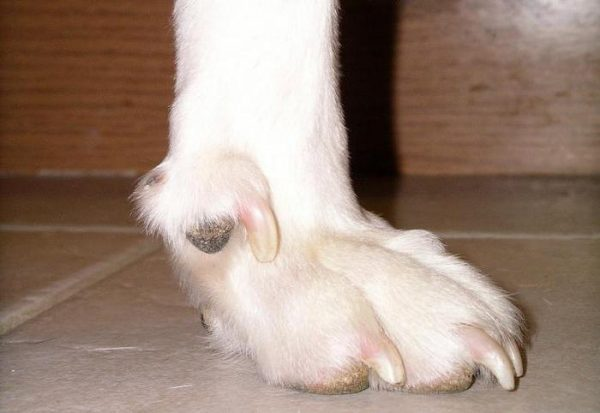 Прибылой палец на лапе собаки