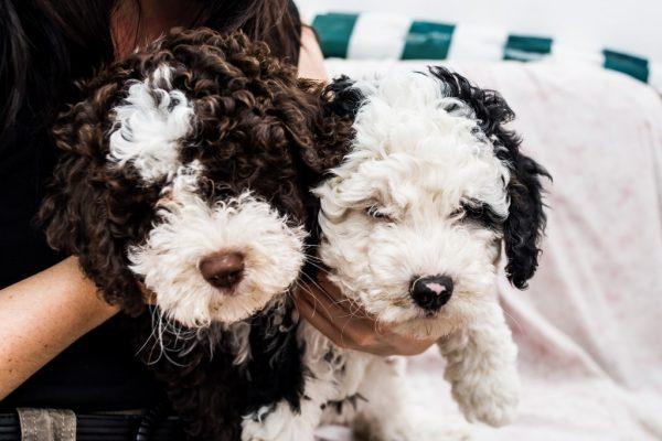 Щенки испанской водяной собаки