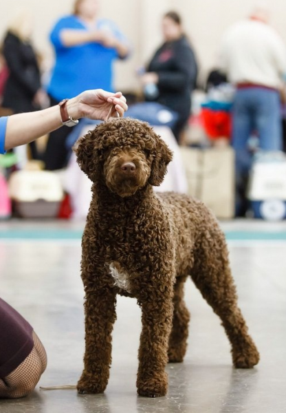 Испанская водяная собака на выставке