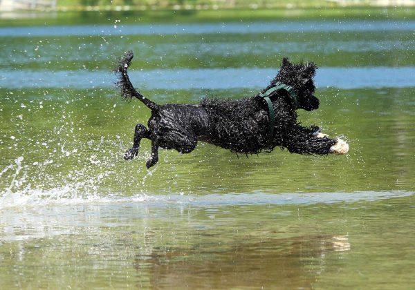 Испанская водяная собака в воде