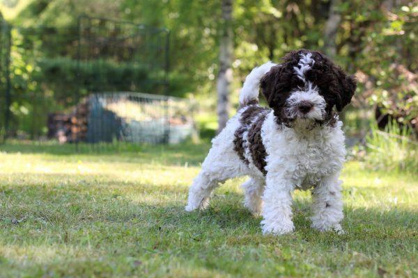Пятнистый щенок лаготто романьоло