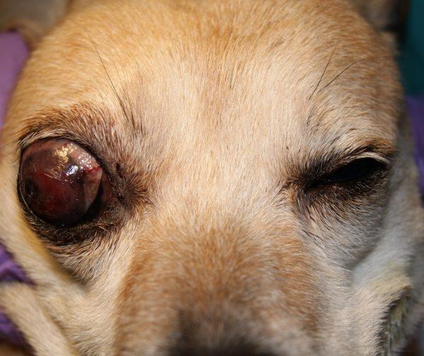 «Бычий глаз» у собаки