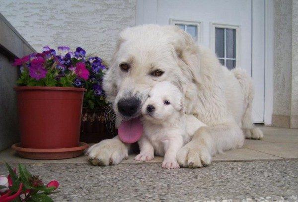 Чувач и щенок