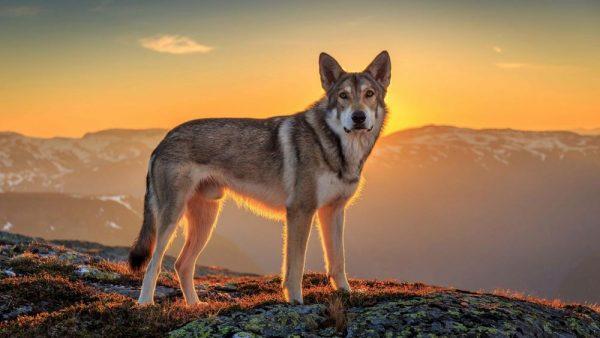 Саарлосская волчья собака на фоне заката