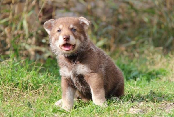 Щенок волчьей собаки