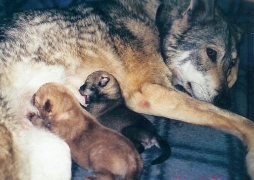 Волчья собака и щенки
